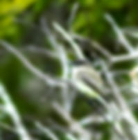 Picture of an eastern phoebe in Tamp, Florida' Lettuce Lake Park as a fine art print fo the walls of your home or office.