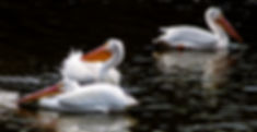 Picture of a trio of American white pelicans swimming in a Riverview, Florida pond as a fine art nature print for the wall of your home or office.