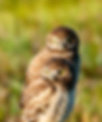 Picture of an adult and juvenile burrowing owl at its nest in Cape Coral, Florida as a fine art nature print for the wall of your home or office.