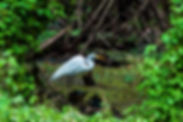 Picture of a great white egret in the marsh at Tampa, Florida's Lettuce Lake Park as a fine art nature print for the wall of your home or office.