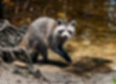 Picture of a raccoon with shrimp it caught in Hillsborough County, Florida's E.G. Simmons Park as a fine art nature print for the wall of your home or office.
