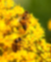 Picture of Honey bees feeding on wand goldenrod in the Cockroach Bay Aquatic Reserve in Ruskin, Florida as a fine art nature print for the walls of your home or office.