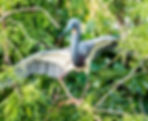 Picture of a stumbling tri-colored heron in the trees of a rookery near Kissimmee, Florida as a fine art nature print for the wall of your home or office.