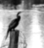 Black and white picture of an anhinga on a barbed wire festooned post in the Alafia River as a fine art nature print for the wall of your home or office.