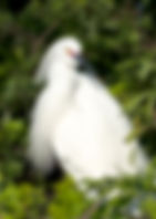 Picture of a snowy egret in a rookery near Kissimmee, Florida as a fine art nature print for the wall of your home or office.