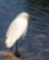 Picture of a snowy egret in the shallows of Lakeland, Florida's Circle B Bar Preserve as a fine art nature print for the wall of your home or office.