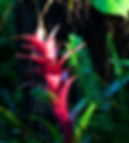 Picture of a red bromeliad flower lit by the mornings first light as a fine art nature print for the wall of your home or office.