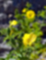 Picture of beautiful yellow cupped flowers as a fine art nature print for the wall of your home or office.