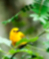 Prothonotary warbler shelteing in brances in Tampa, Florda's Lettuce Lake Park as a fine art nature print for the walls of your home or office.