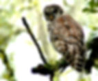 Picture of a teenage barred owl in Tampa, Florida's Lettuce Lake Park as a fine art nature print for the wall of your home or office.