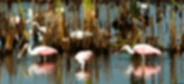 Picture of a trio of roseate spoonbills feeding in a drying pond in Ruskin, Florida as a fine art nature print for the wall of your home or office.