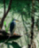 Picture of a black crowned night heron in Tampa, Florida's Lettuce Lake Park as a fine art nature print for the wall of your home or office.