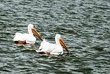 American White Pelican Paqir.jpg