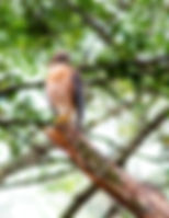 Picture of a red-shouldered hawk for the wall of your home or office, as a fine art nature print.