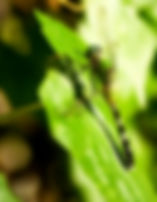 Picture of a female eastern pondhawk dragonfly in Tampa, Florida's Lettuce Lake Park as a fine art nature print for the wall of your home or office.