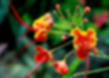 Picture of a red bird of paradise flower on the grounds on the Iguana Lodge in Costa Rica as a fine art nature print for the wall of your home or office.