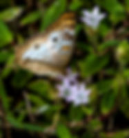 Picture of a white peacock butterfly in Hillsborough County, Florida's E.G. Simmons Park as a fine art nature print for the wall of your home or office.