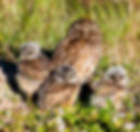 A burowing owl and nstlings as a fine art nature print for he walls of your home or office.
