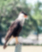 Picture of a southern crested caracara on a fence post in southeast Osceola County, Florida as a fine art nature print for the wall of your home or office.