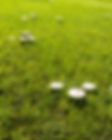 Picture of mushrooms in a field at Ft. Morgan as a fine art piture for the walls of your home or office.