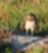 Picture of a young burrowing owl neat its nest in Cape Coral, Florida as a fine art nature print for the wall of your home or office.