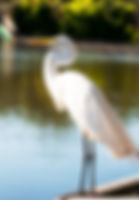 Picture of a great white egret resting on a rail in a rookery near Kissimmee, Florida as a fine art print for the wall of your home or office.