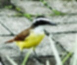 Picture of a great kiskadee in La Fortuna, Costa Rica as a fine art nature print for the wall of your home or office.