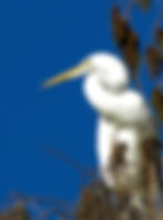 Picture of a great white egret perched in a cypress tree in Tampa, Florida's Lettuce Lake Park as a fine art nature print for the wall of your home or office.