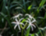 A swamp lily as a fine art nature print for the walls of your home or office.