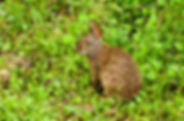 Picture of a cottontail rabbit in Tampa, Florida's Lettuce Lake Park as a fine art nature print for the wall of your home or office.