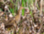Picture of an American bittern as a fine art nature print for the walls of your home or office.