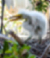 Picture of a great white egret chick in a rookery near Kissimmee, Florida as a fine art nature print for the wall of your home or office.