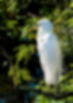 Picture of a great white egret taking a break from parental duties as a fine art nature print for the wall of your home or office.