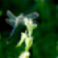 Eastern pondhawk dragonfly fine art nature print for your home.