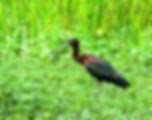 Picture of a glossy ibis in a marsh in Riverview, Florida as a fine art nature print for the wall of your home or office.