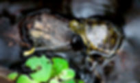 Picture of a small turtle perched on a small log in Tampa, Florida's Lettuce Lake Park as a fine art nature print for the wall of your home or office.