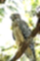 Picture of a red-shouldered hawk on a branch in Florida's Hillsborough River State Park as a fine art nature print for the wall of your home or office.