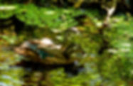 Picture of wood ducks off the oxbow in Tampa, Florida's Lettuce Lake Park as a fine art nature print for the wall of your home or office.