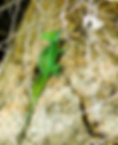 Picture of a Jesus Christ Lizard on the bank of a river in Costa Rica as a fine art print for the wall of your home or office.