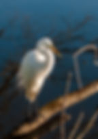 Picture of a great white egret as a fine art nature print for the wall of your home or office.