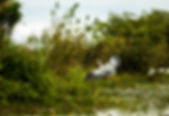 Picture of a cocoi or white-necked heron  in Argentina;s Esteros del Ibara as a fine art nature print for the wall of your home or office.