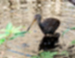 Picture of a limpkin the oxbow of Tampa, Florida's Lettuce Lake Park as a fine art nature print for the wall of your home or office.