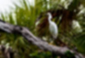 Picture of a snowy egret on a dead tree limb near Bishops Harbor in Manatee County, Florida as a fine art nature print for the wall of your home or office.