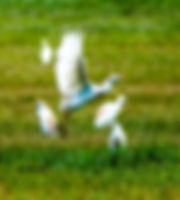 Picture of a group of cattle egrets hunting for insects in a pasture as a fine art nature print for the wall of your home or office.