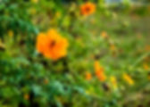 Picture of a field of orange cosmos planted to help the bees in eastern Hillsborough County, FL as a fine art nature print for the wall of your home or office.