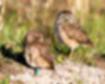 A pair of burrowing owls as a fine art nature print for the walls of your home or ofice.