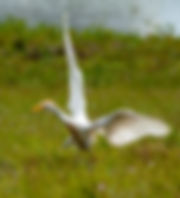 Picture of a cattle egret landing in an eastern Pasco County, Florida pasture as a fine art nature print for the wall of your home or office.
