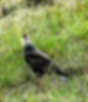 Picture of a southern crested caracara in Argentina as a fine art nature print for the wall of your home or office.
