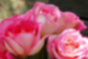 Picture of a trio of tea roses as a fine art nature print for the wall of your home or office.