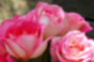 Picture of a trio of tea roses as a fine art nature print for you home or office.